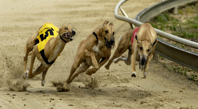 Clare Dog Second Favourite To Win 2020 English Greyhound Derby ...